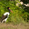 Mitteria del Senegal (Parco Natura Viva)