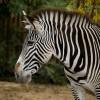 Zebra (Parco Natura Viva)