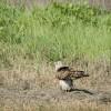 Falco di palude – Fiume Musone