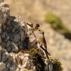 Fringuello alpino – Genitore mentre imbecca il giovane – (M. Camicia)