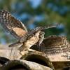 Civetta – Genitore che consegna la preda
