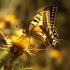Macaone – (Papilio Machaon) –  Monte Conero