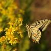 Macaone – (Papilio machaon) – Fiume Musone
