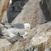 Gabbiano tridattilo – Varanger (Norvegia 2016)
