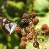 Limenitis reducta – Monte Conero